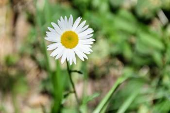 Trailside daisy