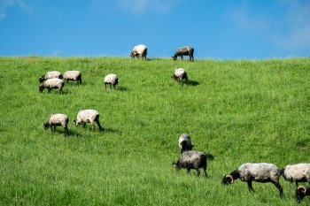 Grazing black-faced (Manech) sheep, bred for the quality of their milk and the Ossau Irate cheese made from it