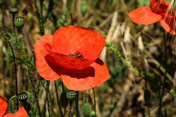 Red poppies along the trail