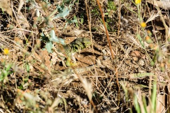 Large green lizard we'd occasionally hear and see along the trail