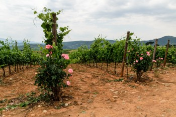 Grapevines and roses