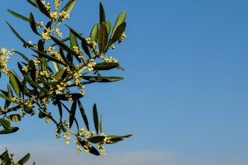 Young fruit on olive trees