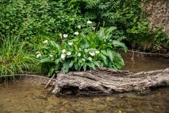 Riverside calla lilies