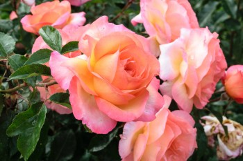 The St. James Way Rose