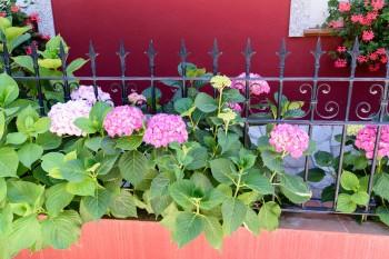 Hydrangea flowerbox