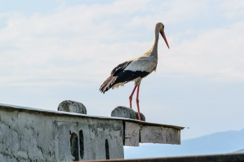 Rooftop stork