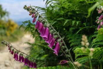 Trailside foxglove