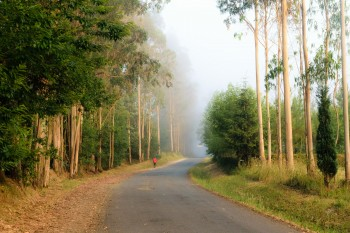 Morning light, eucalyptus grove