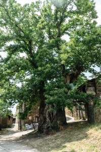 800-year-old chestnut tree