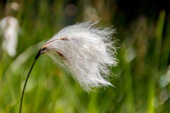 Bog Grass (Cottongrass)