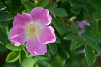 Wild Rose along Loch Tulla