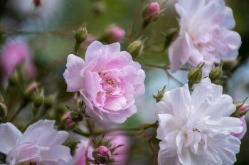 Roses, B&B, Glencoe