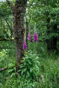 Foxglove, near Beinglas Farm, Inverarnan