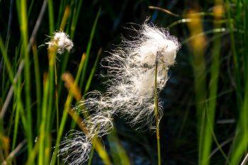 Bog cotton (Cottongrass)